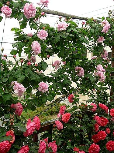 2006年軒軒的薔薇花園③(頂楼東方)