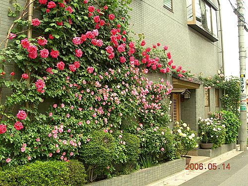 2006年軒軒的薔薇花園①(薔薇花牆 )