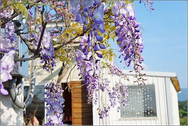 Purplevine04.jpg