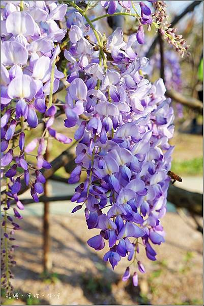 Purplevine11.jpg