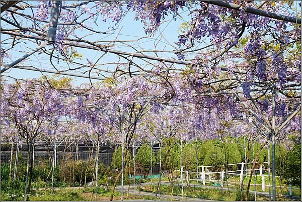 Purplevine13.jpg