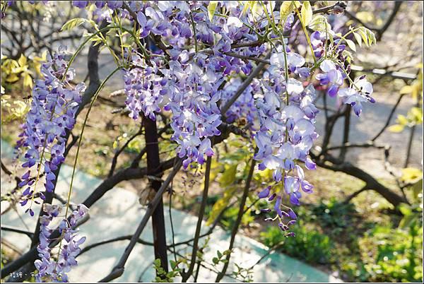 Purplevine16.jpg