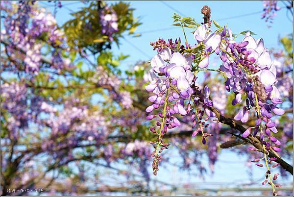 Purplevine17.jpg