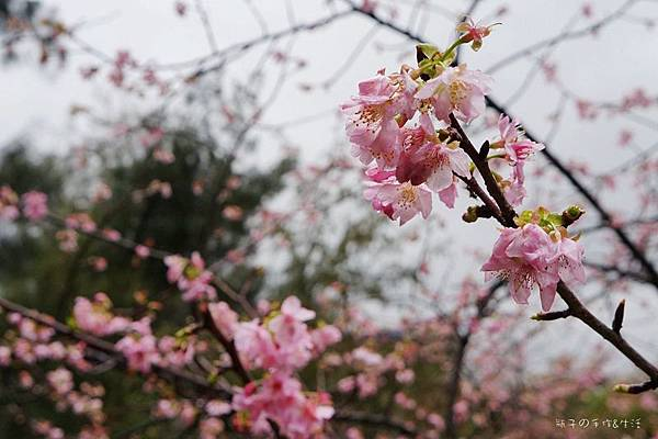 sakura & glass04.jpg