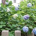 和服&紫陽花17.jpg