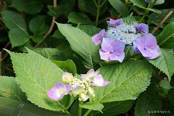 和服&紫陽花24.jpg