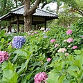 和服&紫陽花26.jpg