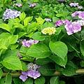 和服&紫陽花28.jpg