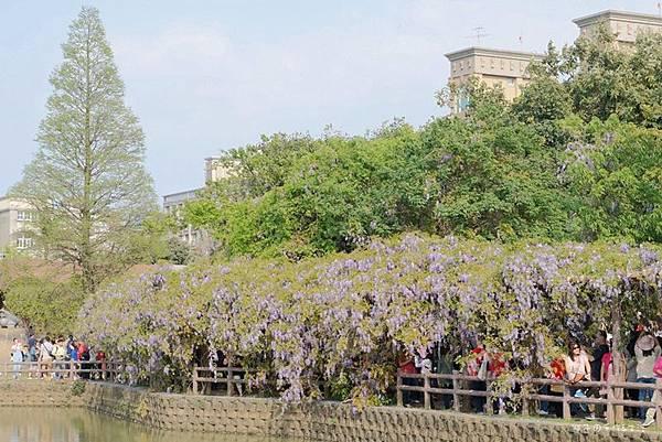 紫藤花05.jpg