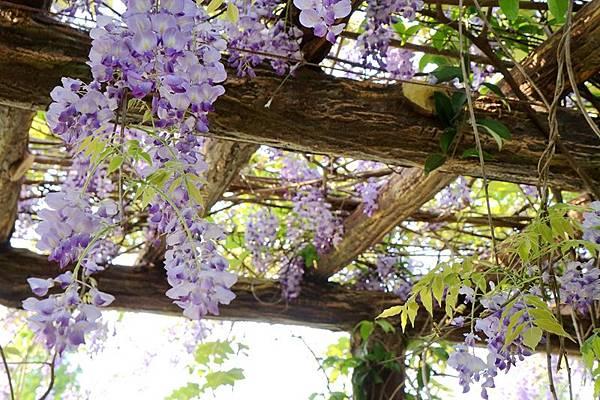 紫藤花07.jpg