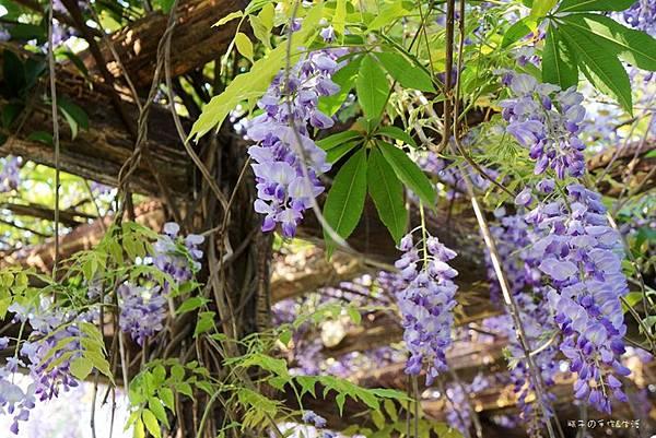 紫藤花08.jpg