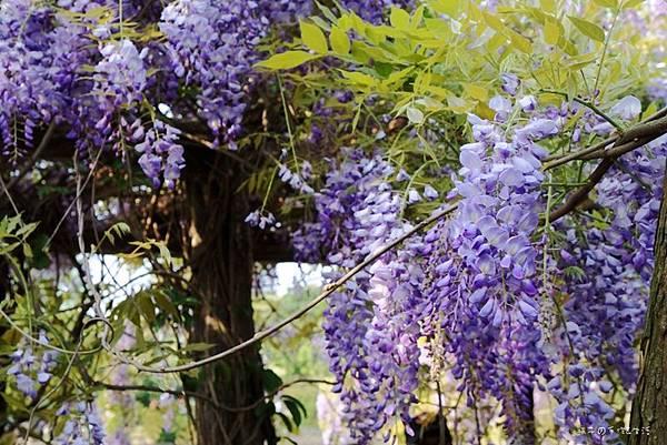紫藤花09.jpg