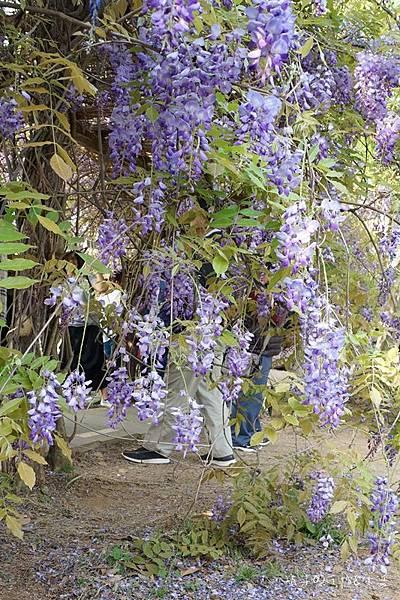 紫藤花10.jpg