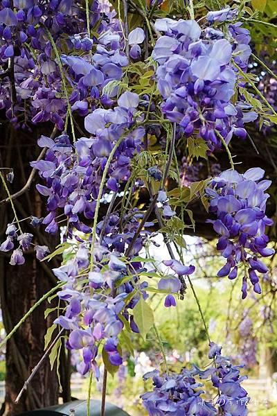 紫藤花11.jpg