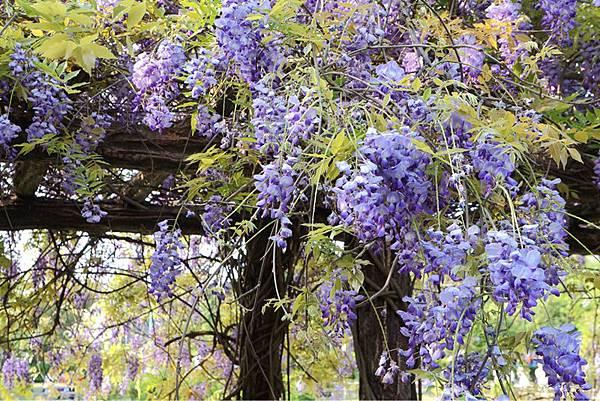 紫藤花12.jpg