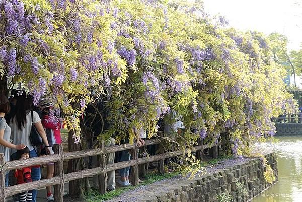 紫藤花15.jpg