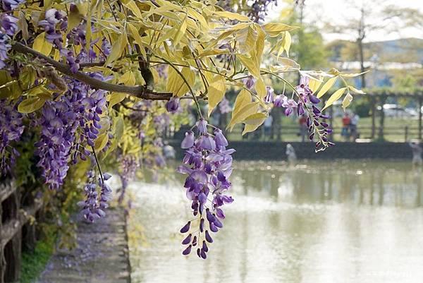 紫藤花17.jpg