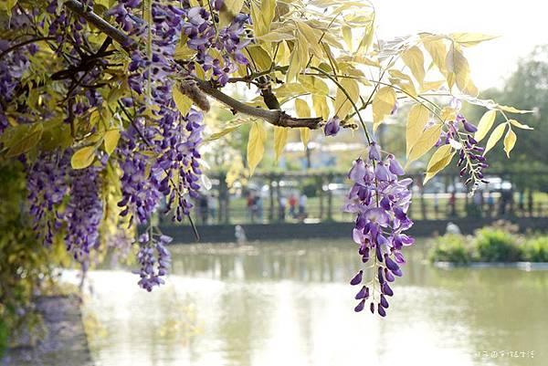 紫藤花18.jpg