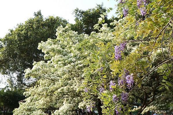 紫藤花19.jpg
