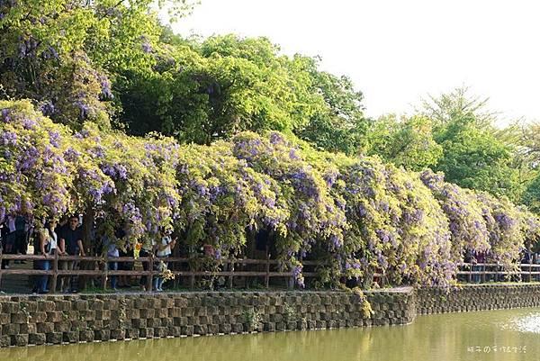 紫藤花14.jpg