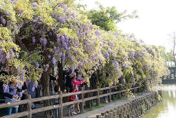 紫藤花16.jpg