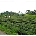 往尼羅河區經過的茶田