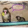 享受溫泉的猴子竟然對我們吐舌頭