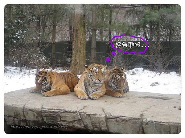搭園內的車近距離看老虎