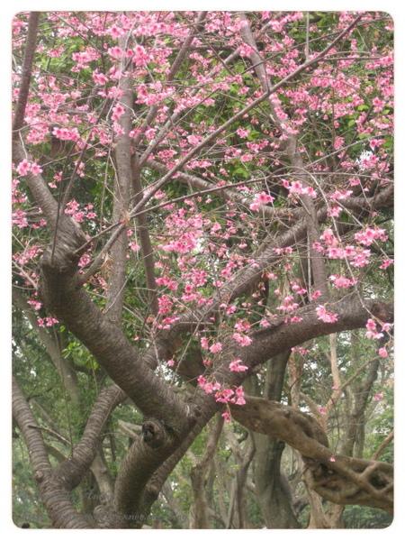 很寫意的櫻花