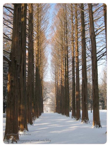 南怡島最著名的杉木林道