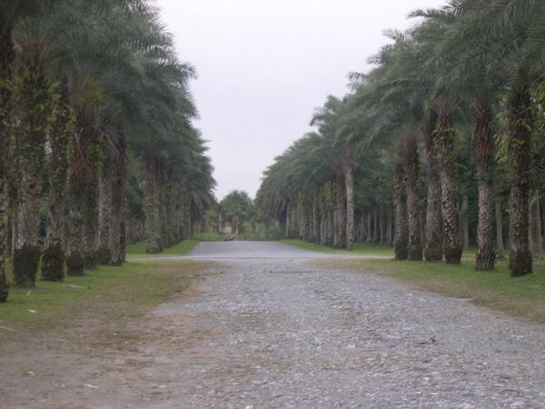 很像台大的椰林