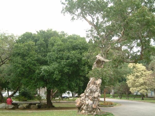 樹幹造型奇特溜