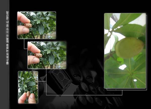 發財樹果實和種子