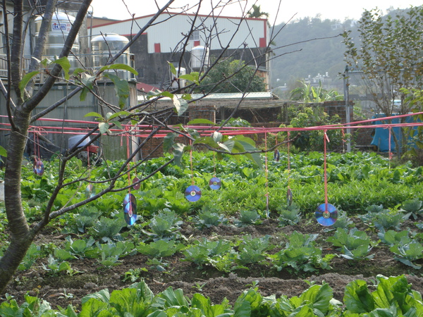 種菜防鳥的方法.jpg