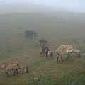 風吹草低見羊群.jpg