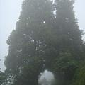 巨大參天的二棵路樹合抱.jpg