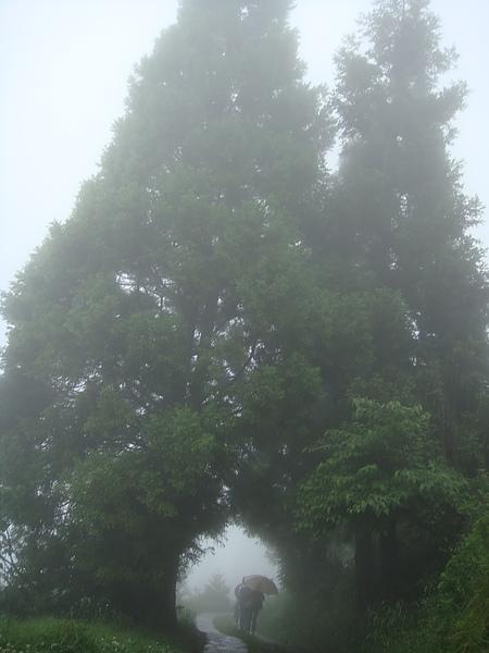 巨大參天的二棵路樹合抱之二.jpg