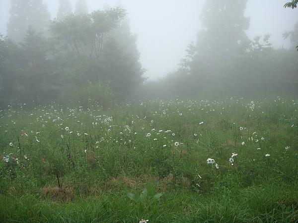 整片山坡地都開滿了小白菊.jpg