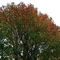 沿路的紅葉