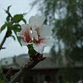 這是唯一一朵櫻花?!