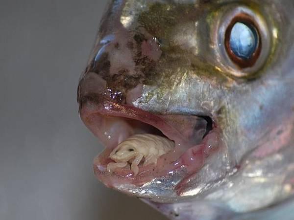 cymothoa-exigua-insect-parasite-eats-fish-tongue.jpg