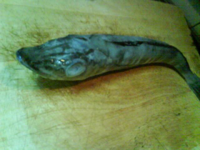 睡基基的料理教室—南極冰魚