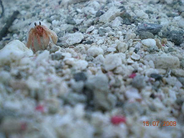 綠島的寄居蟹