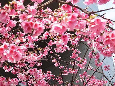 2014春.松菸.櫻