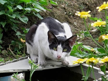 貓在菜園裡散步