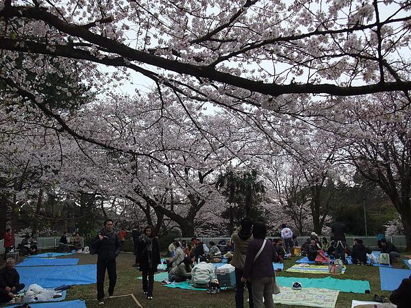 一堆日本人在這裡賞櫻和野餐