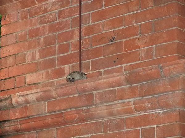 在英國領事館樑柱上清理溼答答毛法的麻雀