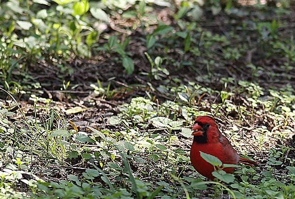 Red Bird 2