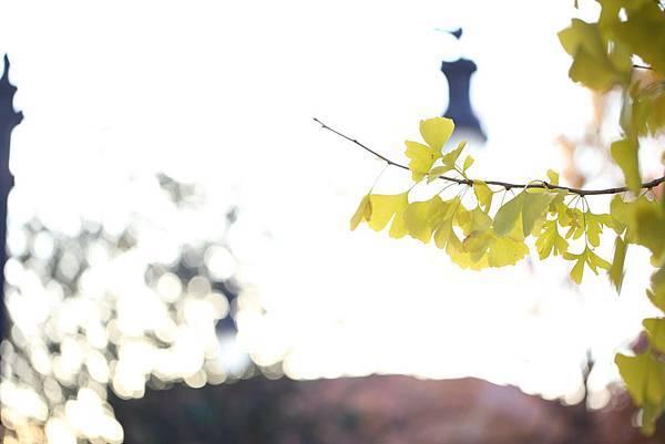 20121110_秋-銀杏61