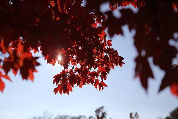 20121110_秋-銀杏10
